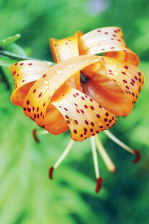 The History Of The Tiger Lily