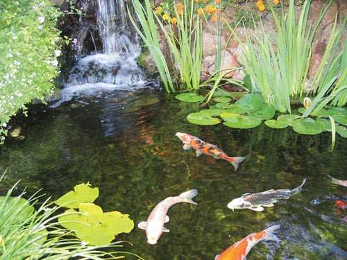 Koi fish for Plants for fish pond surrounds