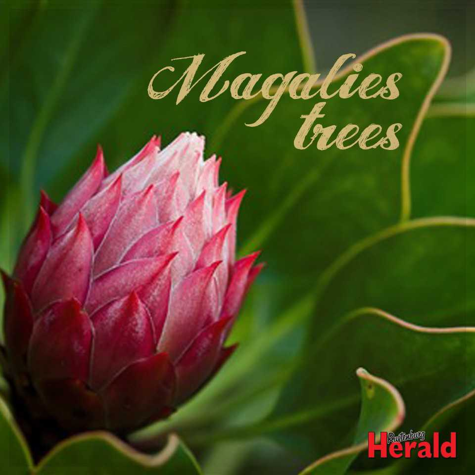 Magalies Trees