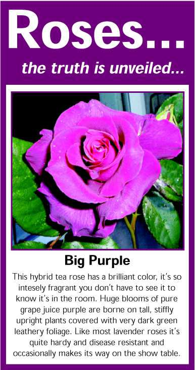 042 Big Purple