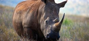 LOCAL RHINO POACHING CONSPIRATORS ARRESTED