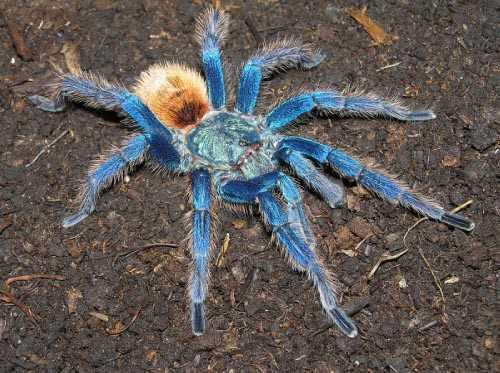 Тарантул  паукмилашка  StopVreditelru